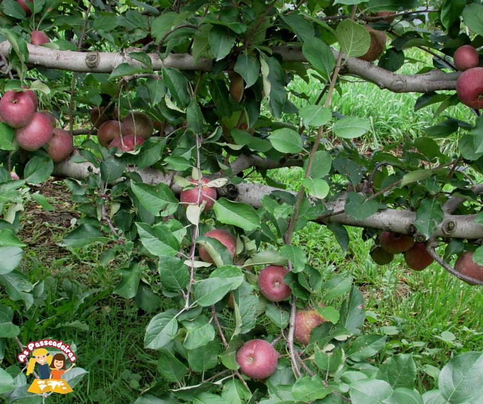 Colhendo maçãs em são joaquim