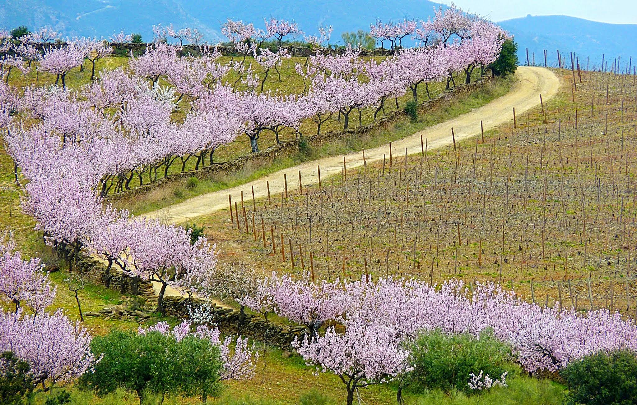 Amendoeiras em Flor (Foto: Portalraizes.com)